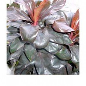 Cordyline Purple Compacta