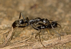 Ants March into Battle, Rescue Their Wounded Comrades