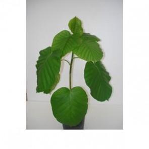 Ficus Umbalata