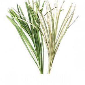 Miscanthus - China Grass (White/Green)