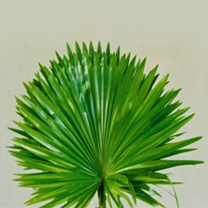 Livistonia Rotundifolia - (Queen Palms)