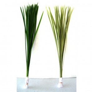 Miscanthus Sianancis -China Grass