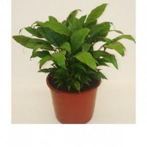 Spathiphyllum Mini Merry