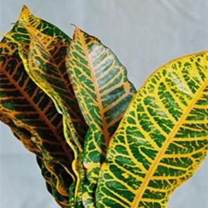 Croton Mix