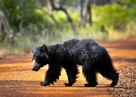Sloth Bear Season in Yala and Wasgomuva