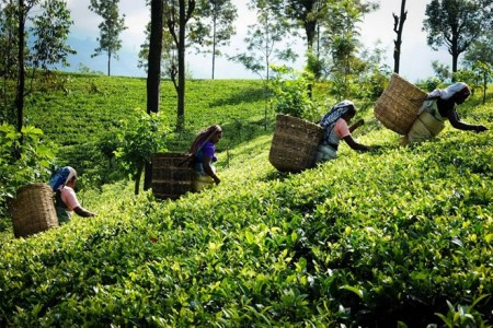 Global tea promotion campaign to kick off on 25 Sept. in Moscow